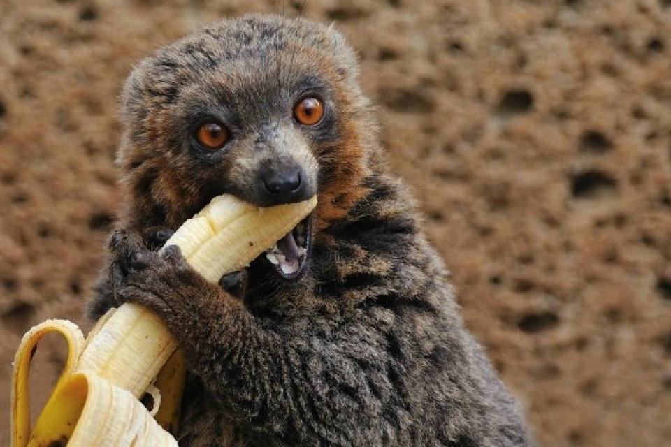 Mono comiendo platano -960